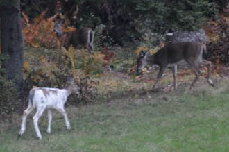 White and Piebald Deer