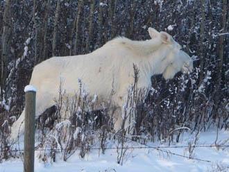 Albino Spirit Animals